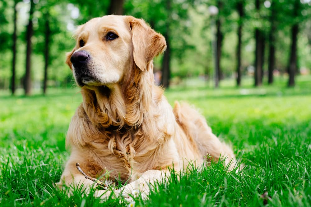 Golden Retriever lying in grass