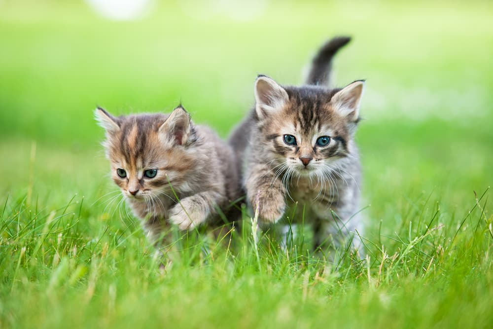 Two happy healthy kittens playing in the grass