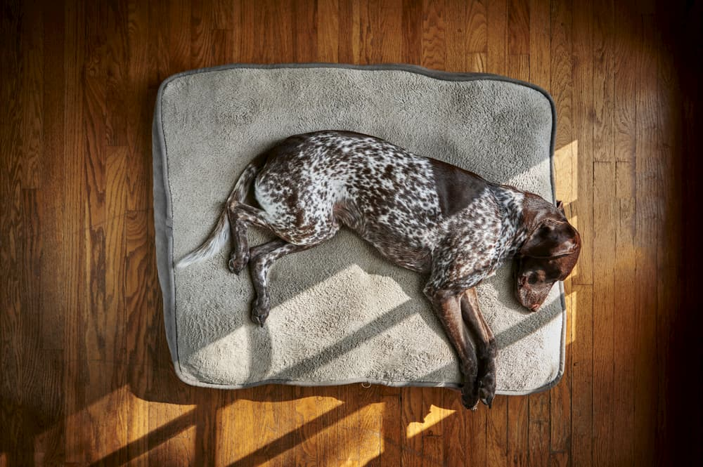 dog on orthopedic dog bed