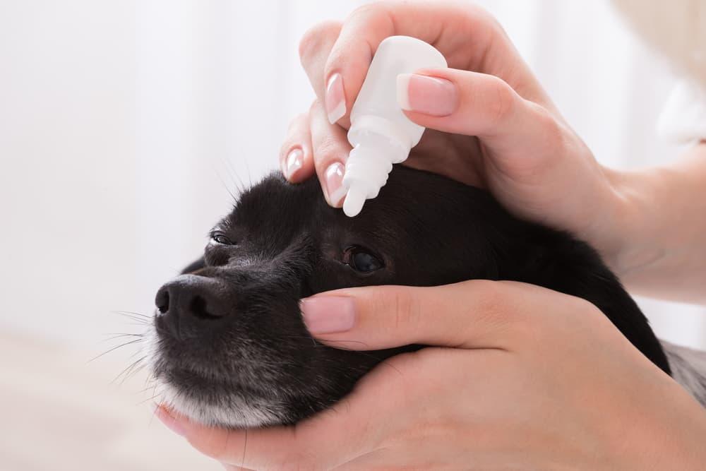 Applying eye drops to dog