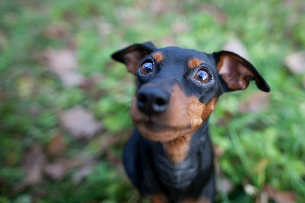 Dog looking up wide-eyed to camera