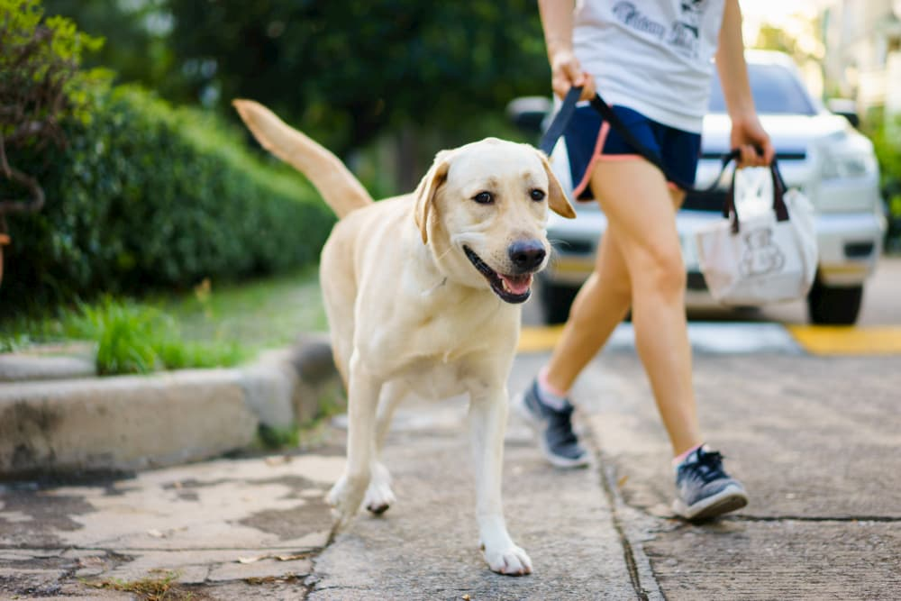 owner walking Yellow Lab