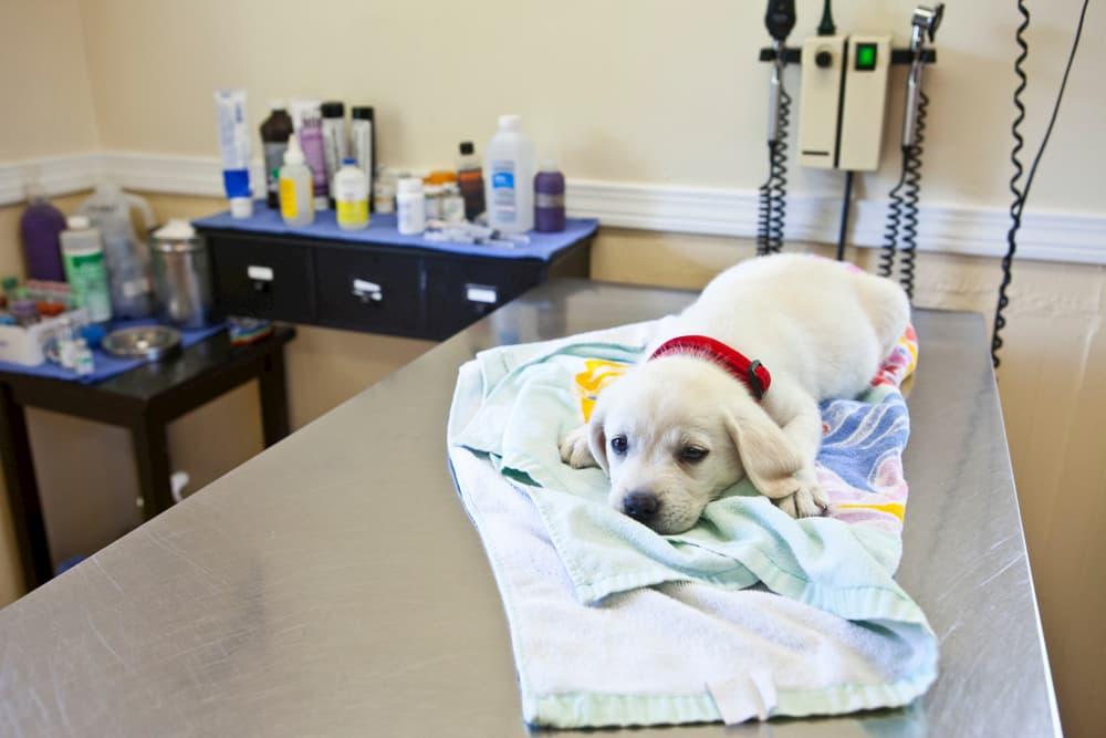 Labrador Retriever puppy at vet