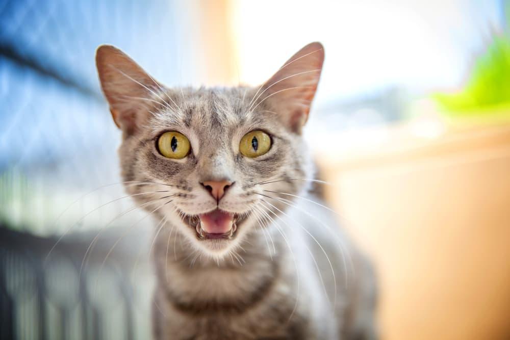 cat trilling at camera