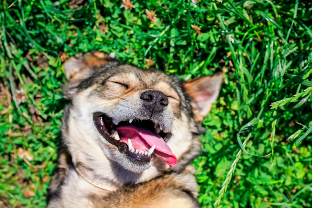 Dog laying in grass with a happy face