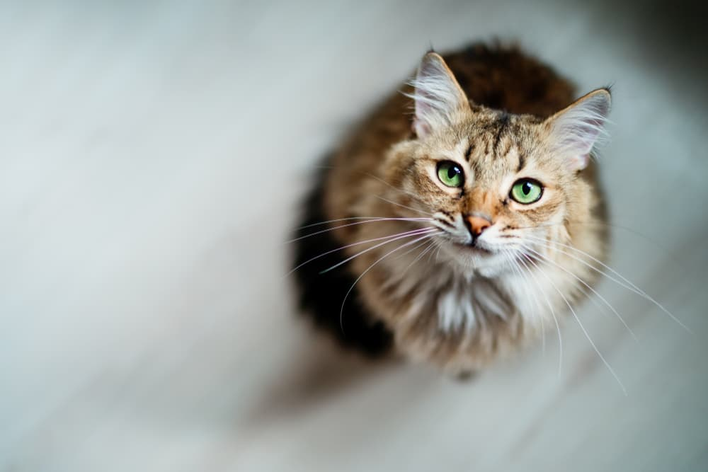 Cute cat looking at the camera