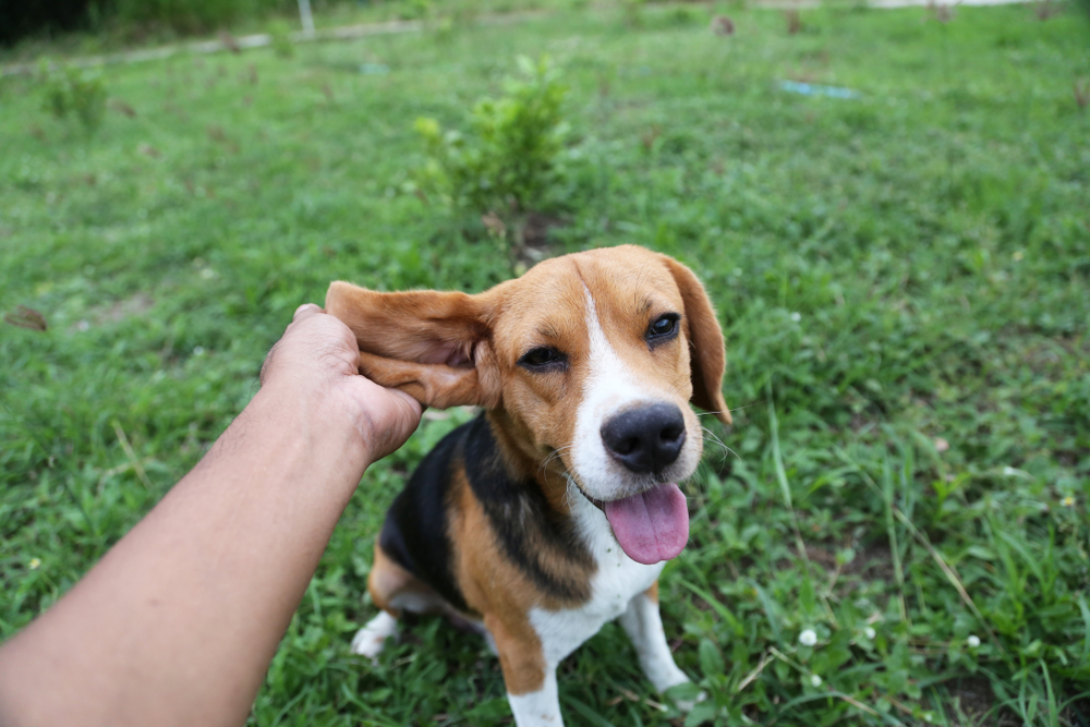 Beagle dog in the grass smiling and owner petting ear