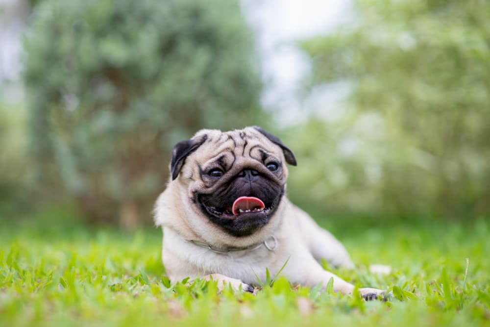 Pug laying down in grass