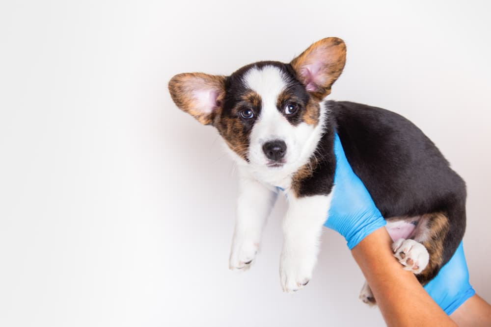 Puppy looking concerned being held up by vet
