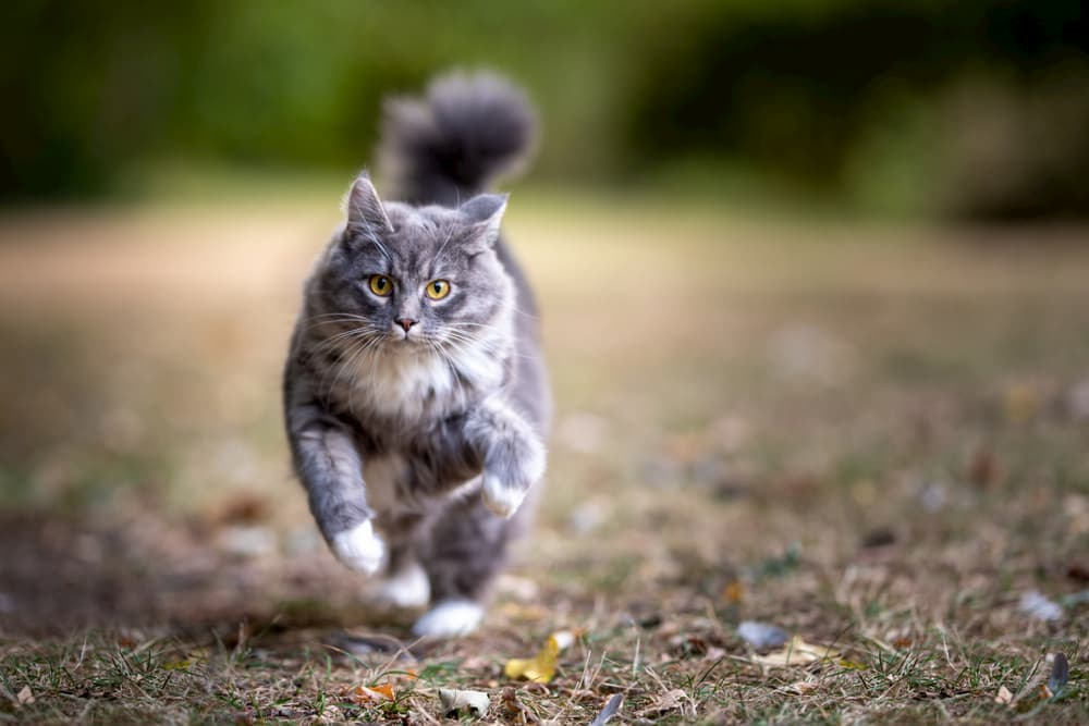 Cat with puffed tail running