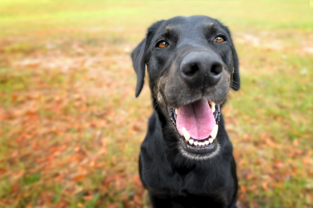 Dog looking up to camera smiling with teeth showing