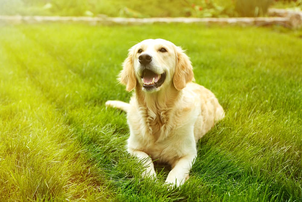 Happy golden retriever laying in the grass