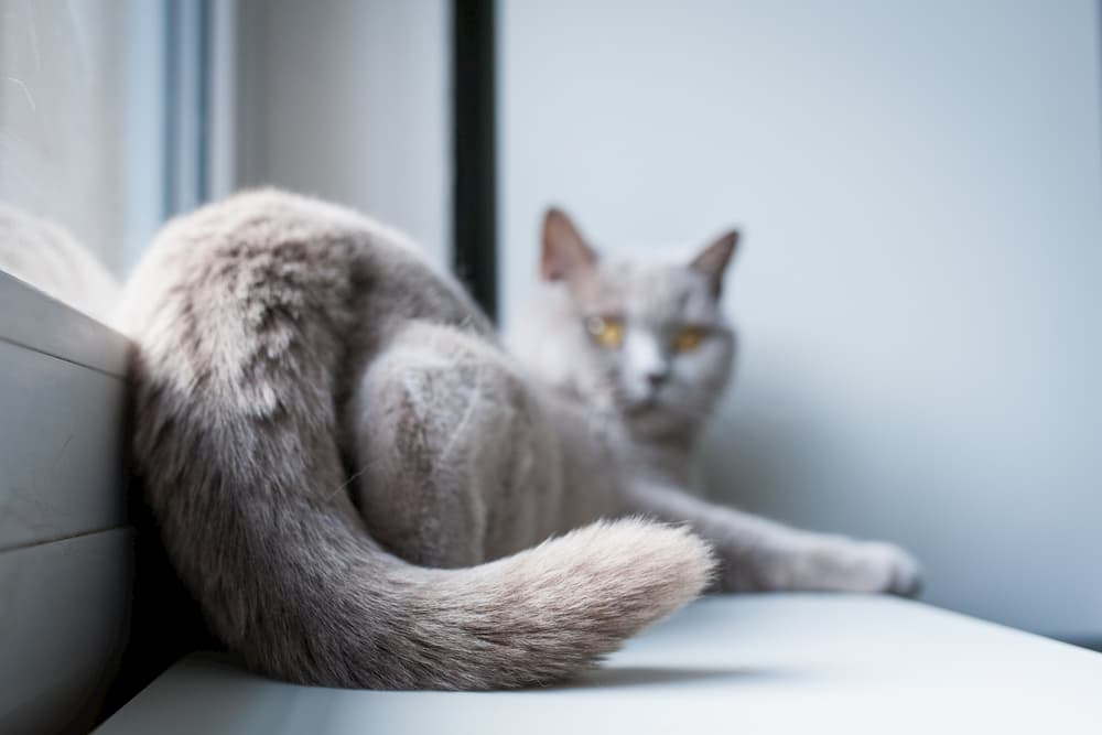 Cat Tail Language: Decoding Your Feline's Flick