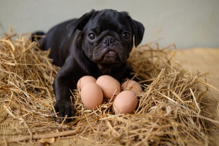 Pug in hay with eggs