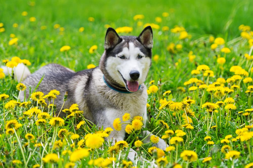 Husky lying in a field of wildflowers