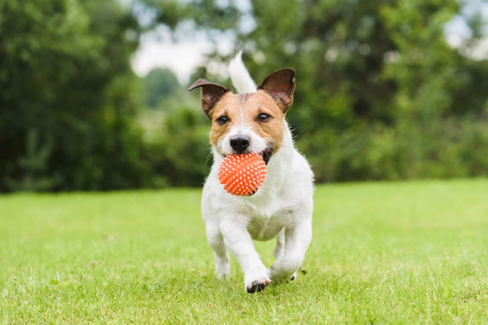 Dog running with a bright orange ball
