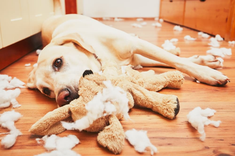 Dog laying on ground with destroyed toy