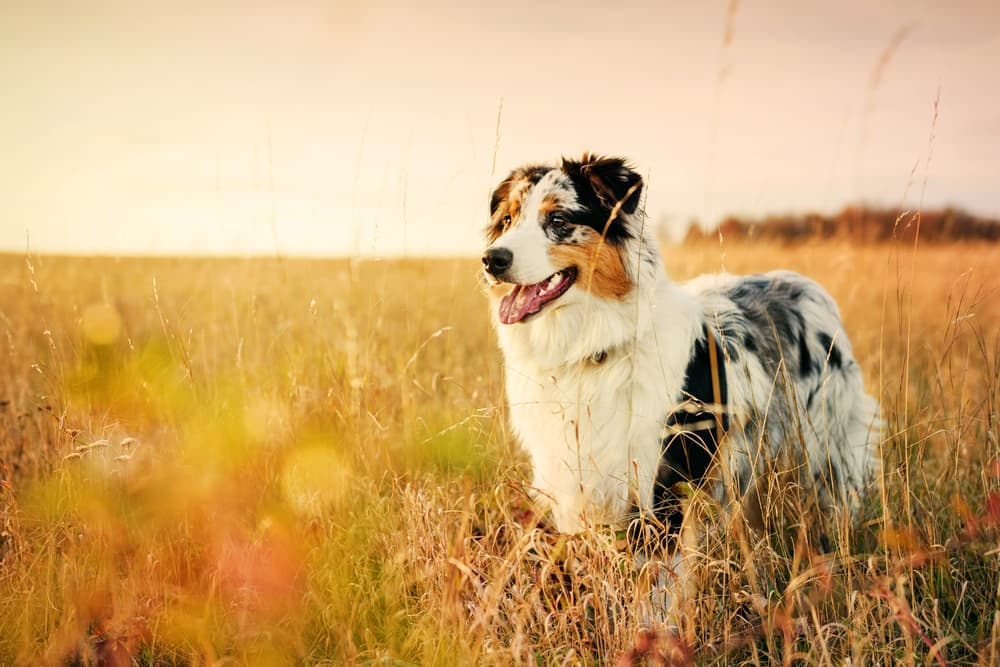 Shephard dog smiling and standing in a field at golden hour