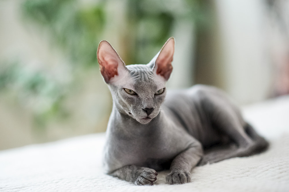 Hairless cat sitting on window sill