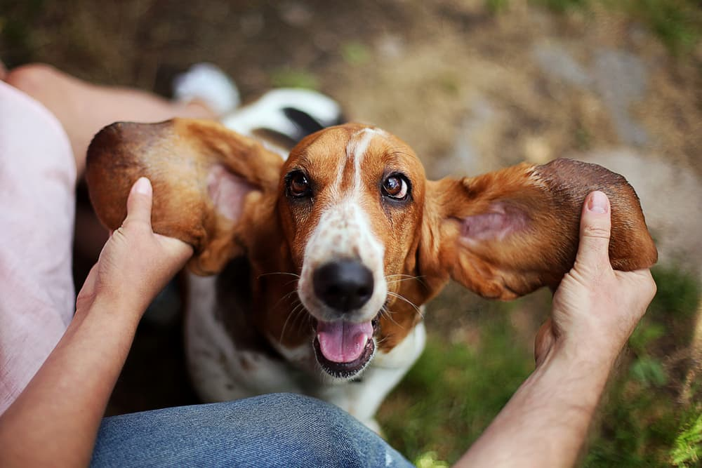 Basset hound with ears being held out