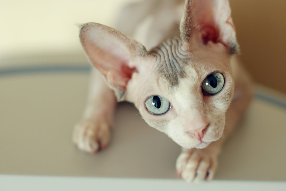 Sphynx cat looking at camera