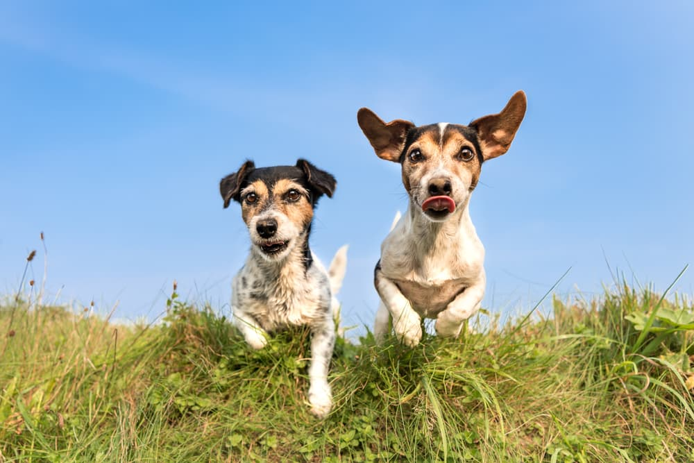 Two dogs running outside in grass