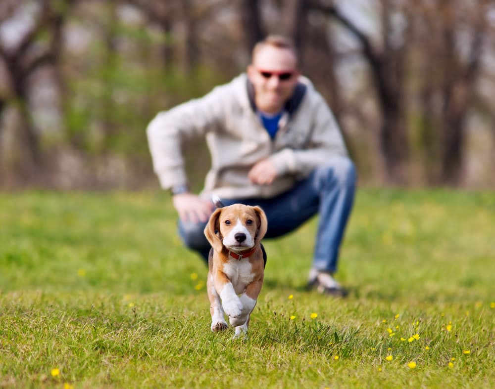 Running Beagle puppy