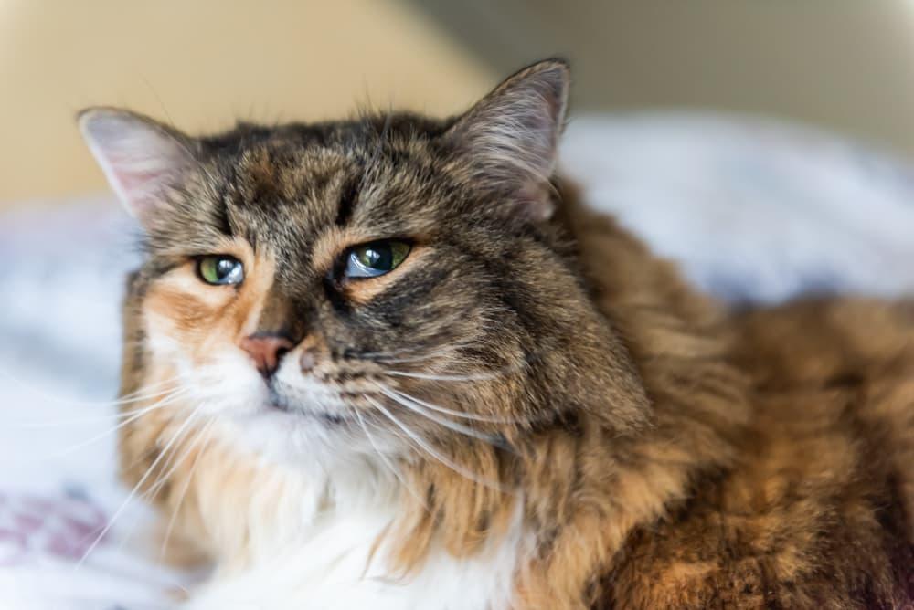 All About Feline Leukemia Virus (FeLV)