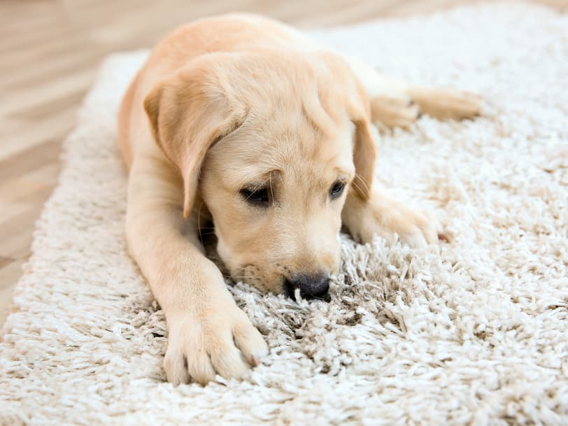 7 Best Pet Odor Eliminators For Your Household