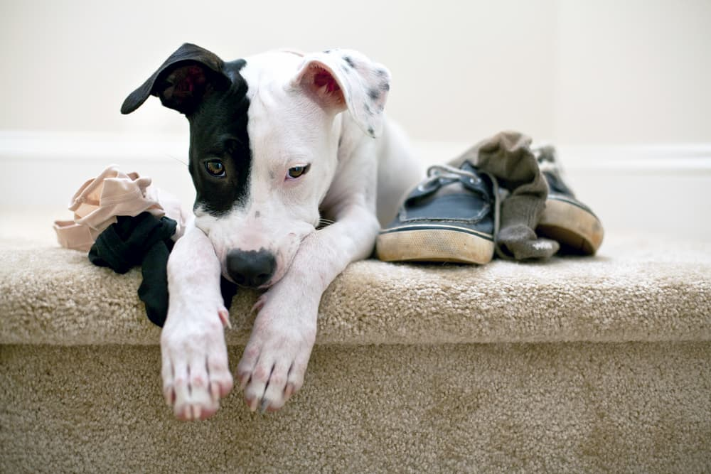 How to Stop a Puppy from Chewing Everything