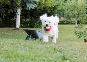 Bichon Frise running in grass