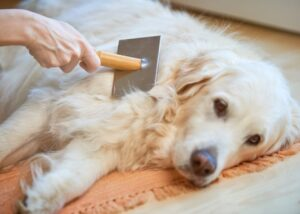 Golden Retriever getting groomed