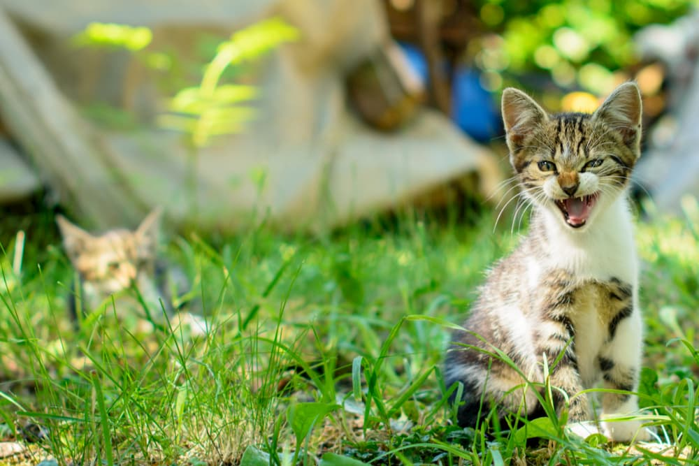 Kitten hissing on the lawn