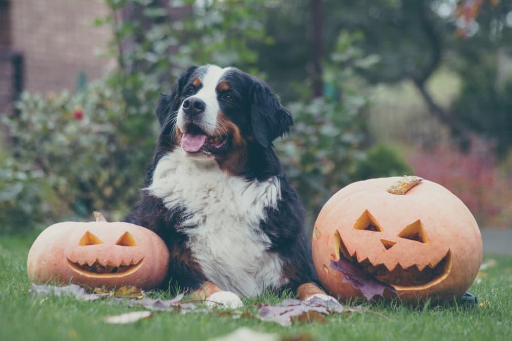 Bernese mountain dog sitting between two pumpkins