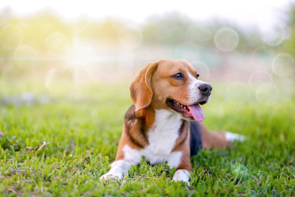 Happy, healthy beagle laying in grass