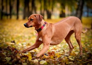Dog in autumnal woods playing