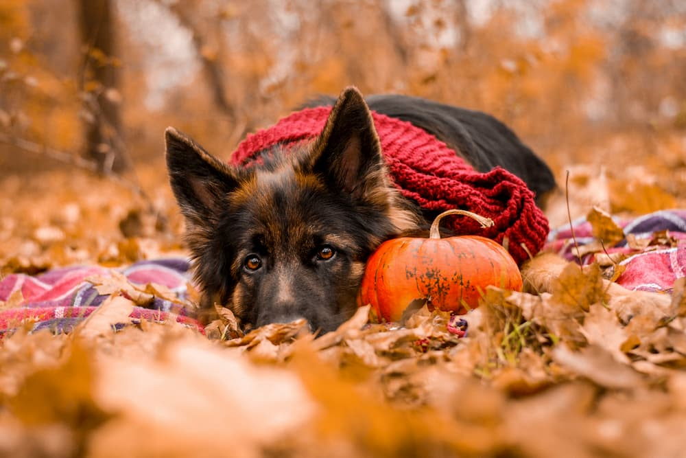 Dog laying in a park in autumn leaves looking sad