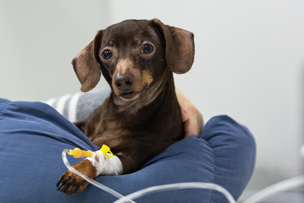 Dog has an IV at the vet