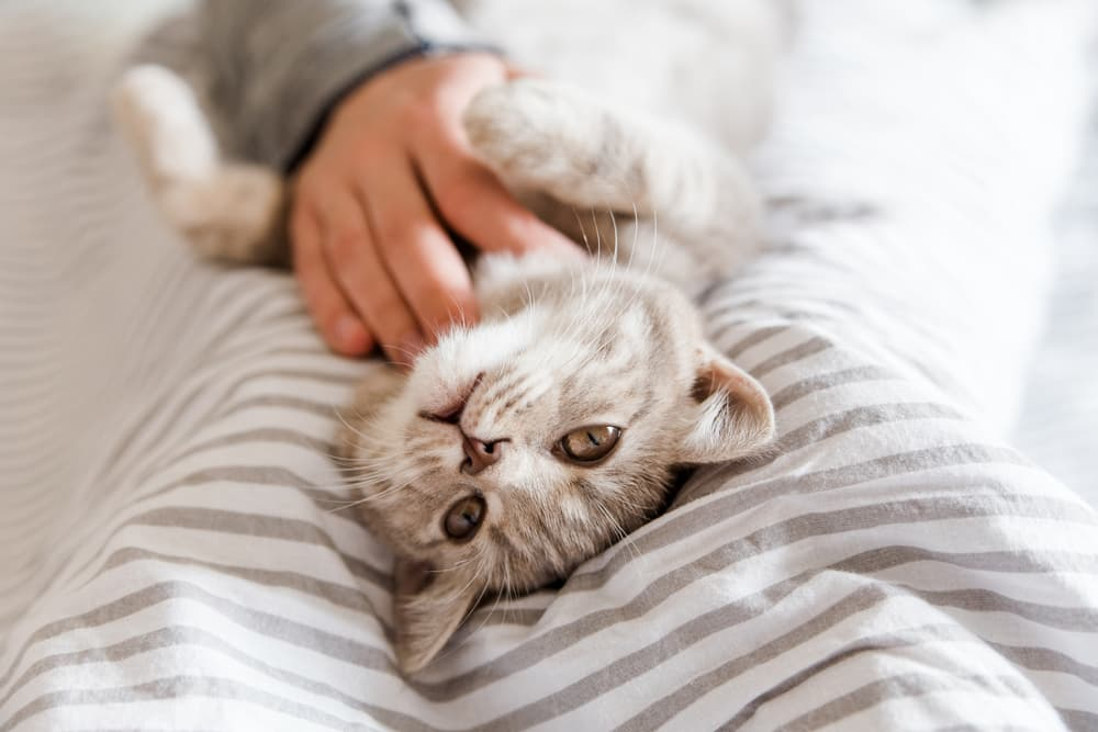 Happy, healthy cat playing with owner