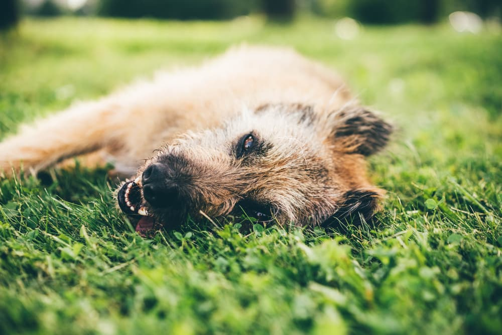 Dog laying in grass unwell
