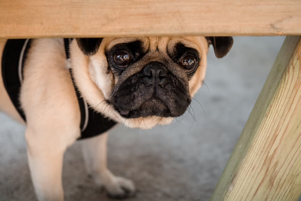 Pug hiding under the table scared