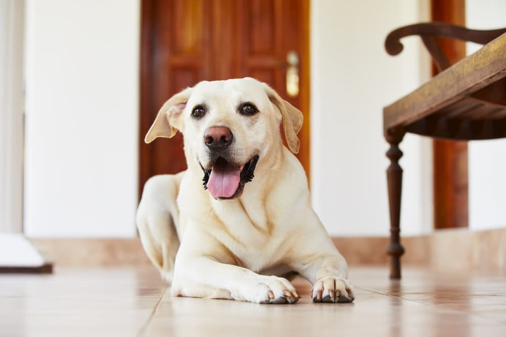 Happy dog laying on ground at home