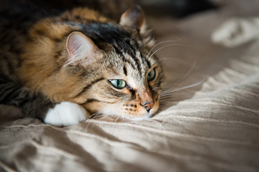 Cat laying on the bed