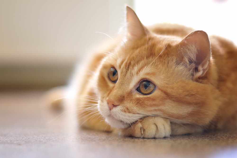 Cat lying down on floor looking up to owner
