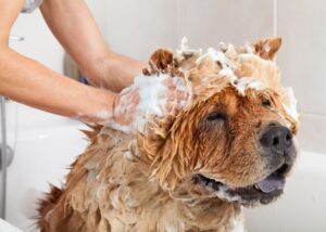 Chow Chow getting a bath