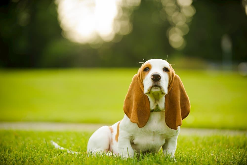 Basset hound puppy sitting in the park