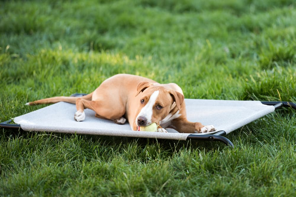 Puppy outside on elevated dog bed in grass