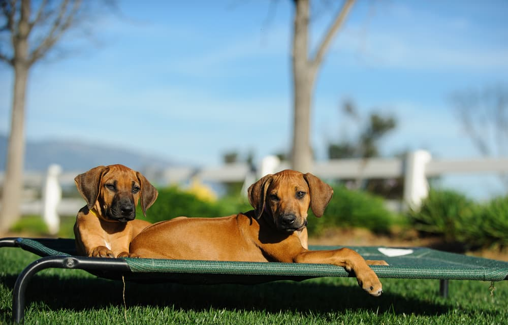 Two puppies on elevated dog bed in yard