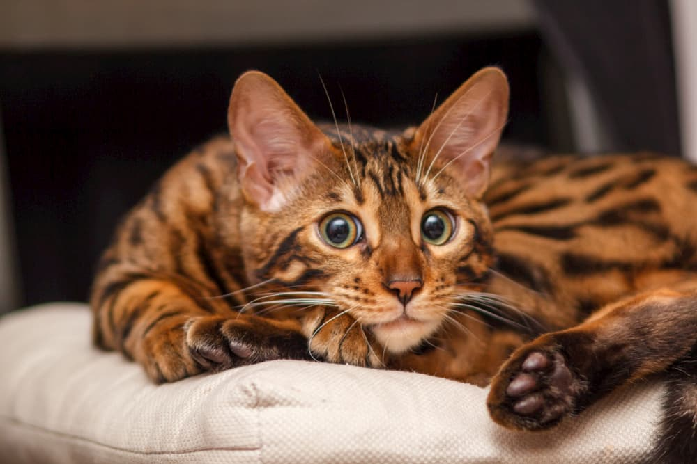 Bengal kitten cuddled up on a chair