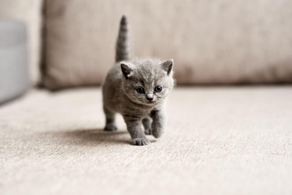 Kitten walking on the carpet